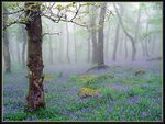 Title: More bluebells..