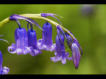 Title: Native bluebell, Hyacinthoides