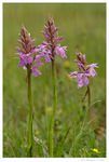 Title: Heath Spotted-orchid