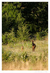 Title: Mother Elk and youngCanon EOS 40D
