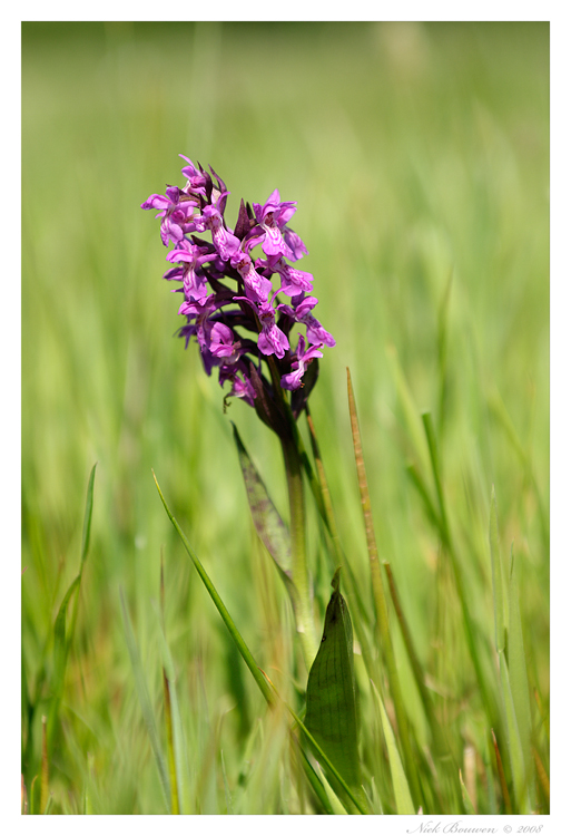 Common Marsh Orchid