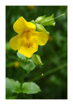 Title: Common Monkey-Flower (Mimulus guttatus)
