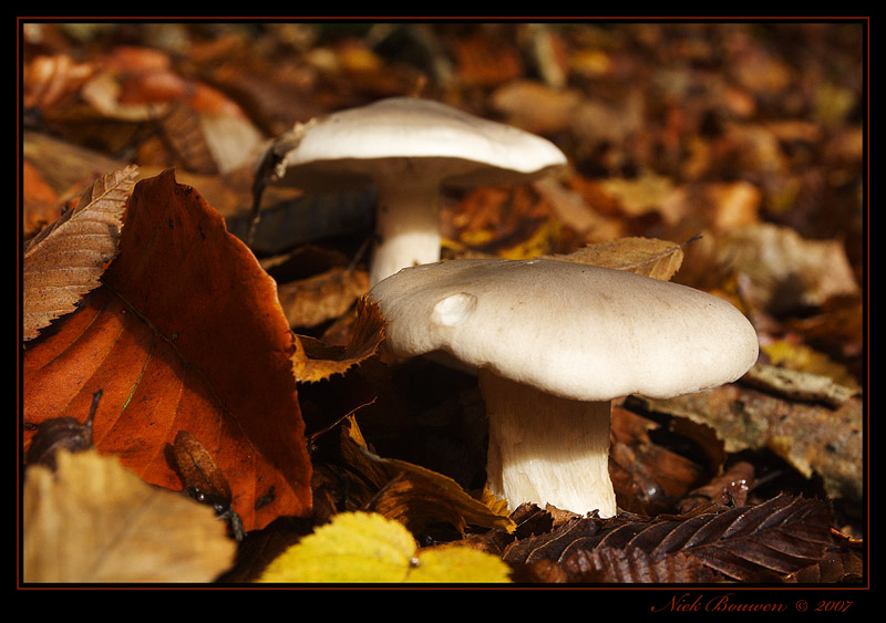Clouded agaric (Clitocybe nebularis)