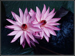 Title: The Lotus