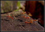 Title: Red Ants