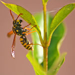 Title: a wasp