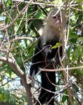 Title: White-faced Capuchin