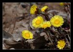 Title: Coltsfoot