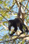 Title: Howler monkey