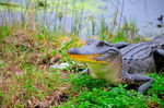 Title: AlligatorNikon D300s