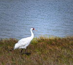 Title: Whooping Crane