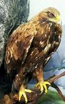 Title: Golden Eagle