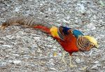 Title: Golden Pheasant Camera: Nikon D200