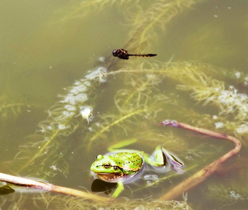 Bell Frog with Damselfly