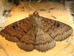 Title: Owl or Peacock moth