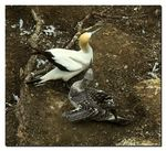 Title: Young gannet
