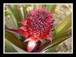 Title: Ananas flower