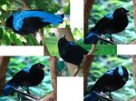 Title: Asian Fairy Bluebird