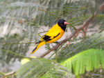 Title: Black-headed oriole