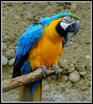 Title: Blue and Yellow Macaw