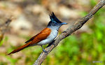 Title: Indian paradise flycatcher