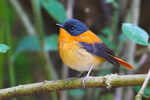 Title: Black-and-orange flycatcher