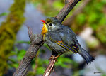 Title: Red-billed leiothrixNikon D500