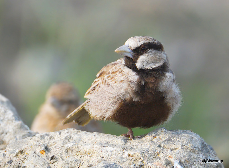 Ashy-crowned sparrow-lark (M)
