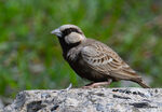 Title: Ashy-crowned sparrow-lark