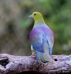 Title: Wedge-tailed Green Pigeon