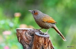 Title: Streaked laughingthrush