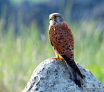 Title: Common kestrel