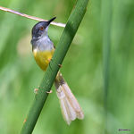 Title: Yellow-bellied priniaNikon D500