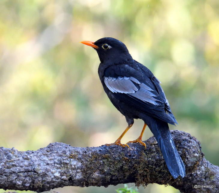 Grey Winged Blackbird