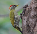 Title: Streak-throated woodpecker