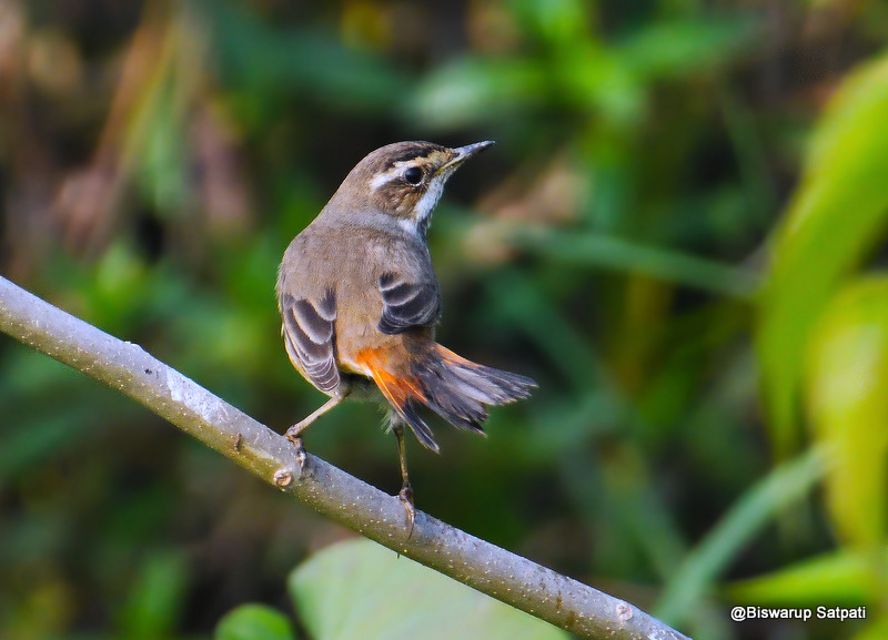 Bluethroat (Female)
