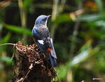 Title: Blue-capped rock thrush
