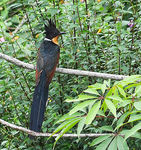 Title: Chestnut-winged cuckoo