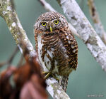 Title: Collared owlet