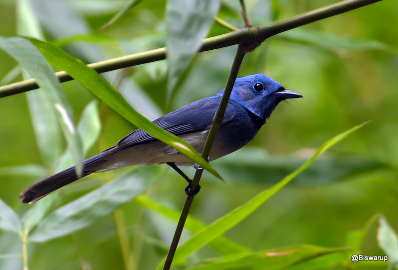 Black-naped monarch (M)