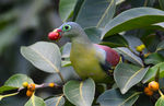 Title: Thick-billed green pigeon