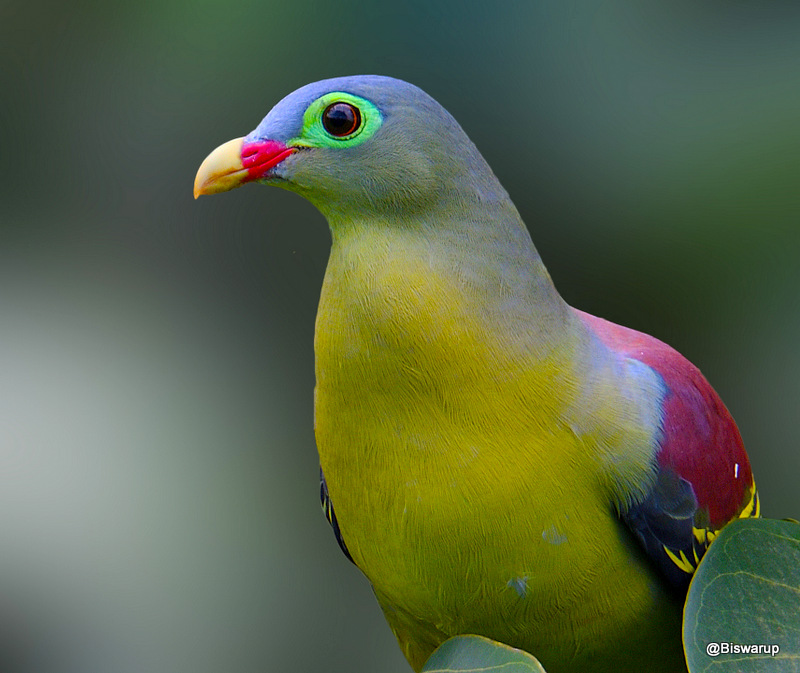 Thick-billed green pigeon