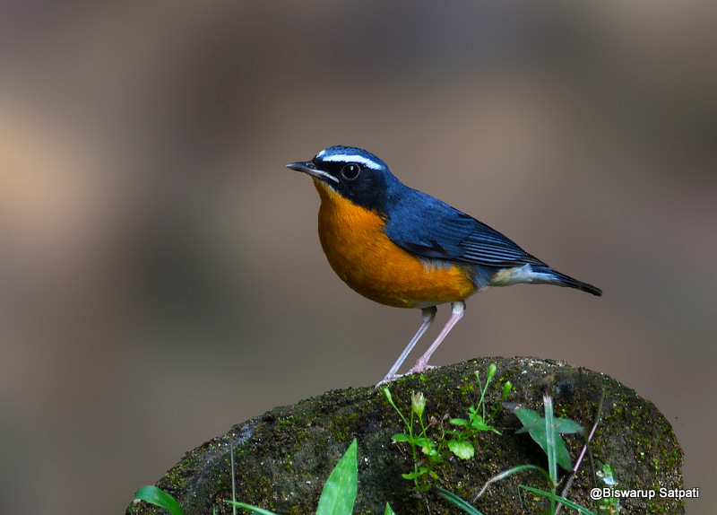 Indian blue robin