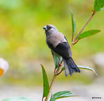 Title: Brown bullfinch