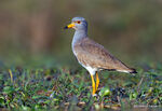 Title: Grey-headed lapwing