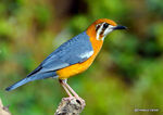 Title: Orange-headed thrush