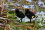 Title: Common moorhen chicks