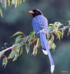 Title: Red-billed blue magpie