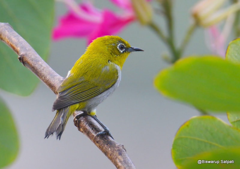 Indian white-eye
