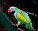 Title: Red-breasted parakeet